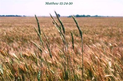 Wheat and tares growing together in israel
